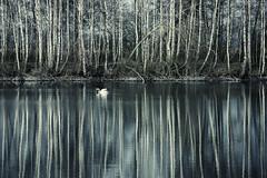 between birches (renatecamin) Tags: birken birches trees bäume schwan swan water reflection spiegelung wasser
