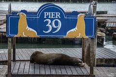 Sea Lion at Pier 39, San Francisco (Glenn Pye) Tags: sealion pier39 sanfrancisco california wildlife nature pier n usa america nikon nikond7200