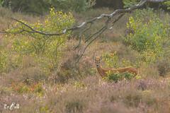 Roe deer at Veluwezoom NP (Netherlands) (Renate van den Boom) Tags: 07juli 2017 europa gelderland jaar maand nederland ree renatevandenboom veluwezoom zoogdieren