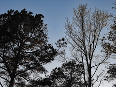 Treetops. (dccradio) Tags: lumberton nc northcarolina robesoncounty outdoor outdoors outside nature natural tree trees woods wooded forest treebranch treebranches branches branch treelimb treelimbs sky eveningsky march spring springtime wednesday wednesdayevening evening wednesdaynight fuji finepix s1000fd bridgecamera