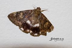 Banded Achaea, Randburg, Jan 2019 (roelofvdb) Tags: 2019 achaeacatella bandedachaea date gauteng january moth mothsofsafrica place randburg year