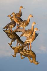 Plumed Whistling-Duck (Geoffrey Walker) Tags: whistlingduck plumed duck bird nature reflection water