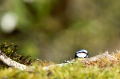 mésange bleue (blue tit) (denisaguilar1) Tags: mésangebleuebluetit faune passereau sauvage oiseaux piaf forêt nature