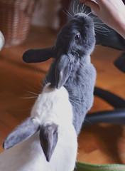 Playtime (Emese's Dolls) Tags: rabbit bunny cute pet pets