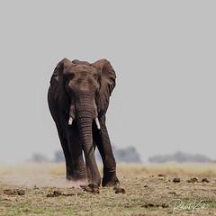 Dust is in the air...... (Jambo53 ()) Tags: botswana chobe elephant copyrightrobertkok crobertkok nature natuur southafrica zuidafrika wildlife nikond700 nikon600f4 dust