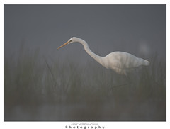 Great Egret in misty Morning (T@hir'S Photography) Tags: animal animalwildlife animalshunting animalsinthewild aquaticorganism bird blue dunedinflorida egret fish floridausstate fortdesotopark greategret gulfcoaststates heron horizontal lake marsh nature nopeople northamerica outdoors photography pond stpetersburgflorida stalking usa waderbird wading water wetland whitecolor flower mistymorning mist sunrise