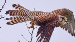 Kestrel (Terry Angus) Tags: kestrel bird birdofprey falcon