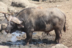 Buffalo (Rckr88) Tags: buffalo krugernationalpark southafrica kruger national park south africa animals animal buffaloes buffalos nature naturalworld outdoors wilderness wildlife fish