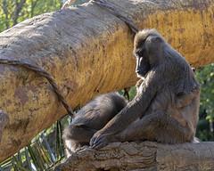 Just some monkey business (ORIONSM) Tags: monkey primate baboon portrait zoo bioparc valencia animal nature panasonic tz100 lumix