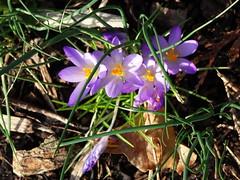 DSC00045 Crocus (PeaTJay) Tags: sonydschx90 zeiss england uk gb royalberkshire reading lowerearley berkshire macro micro closeups gardens outdoors nature flora fauna plants flowers crocus