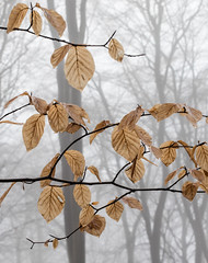 Beech Leaves and Mist (Rachel Dunsdon) Tags: 2019 hampshire leaves trees forest beech mist