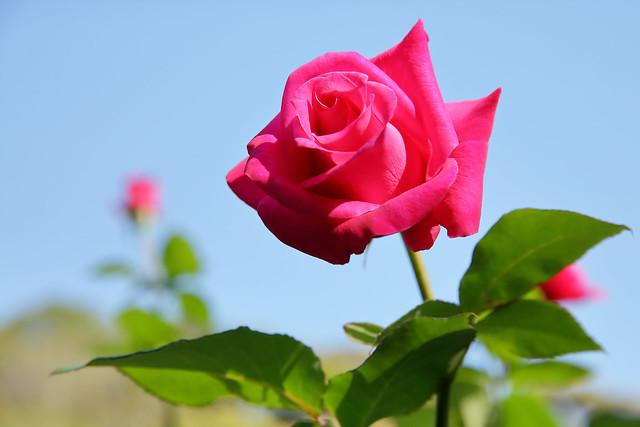 Обои небо, роза, бутон картинки на рабочий стол, раздел цветы - скачать