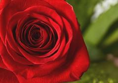 la rosa (Laudom) Tags: red rosarossa fiori rosso sanvalentino amore flower rose