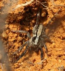 Alopecosa cf barbipes male lycosidae (BSCG (Badenoch and Strathspey Conservation Group)) Tags: acm arachnid alopecosa lycosidae february male sand