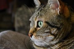Sr. Spock dia 3 (María Parra Photography) Tags: cat animal feline tiger gato mascota pet felino animales