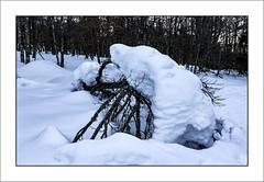 Manteau de neige (Snow coat) (Francis =Photography=) Tags: europa europe france grandest alsace hautrhin 68 troisfours hohneck lehohneck vosges montagne montagnes mountain berg arbres trees neige snow schnee hiver winter bã¤ume arbre bäume