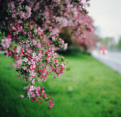 a time to bloom, part five (manyfires) Tags: floral floralscape flowers spring blossom bloom film analog hasselblad hasselblad500cm mediumformat square crabapple bokeh branches pink pdx portland oregon pacificnorthwest pnw