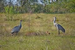 Sand Hill Chick_a (NC Mountain Man) Tags: sandhillcrane chick grassland trees birds dof baby ncmountainman nikon d3400 phixe lowresolutionversion circlebbarreserve florida