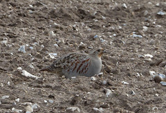 Grey Partridge (hedgehoggarden1) Tags: greypartridge bird wildlife nature partridge creature animal sonycybershot norfolk breckland eastanglia uk sony birds rspb field
