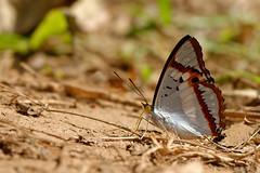 Mimathyma ambica ssp. miranda  - Chiang Dao_20180202_1155_DSC_7291_DxO (I love comments but delete awards - Jan F. Rasmuss) Tags: thailand d800 butterfly butterflies macro closeup insecta lepidoptera rhopalocera nikon janfischerrasmussen janfrasmussen asia southeastasia nymphalidae nymphalid nymphalids apaturinae mimathymaambicasspmiranda mimathymaambica mimathyma ambica miranda chiangmai chiangmaiprovince chiangdao