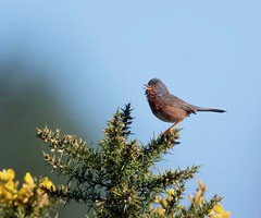Dartford Warbler (John Assheton) Tags: warbler dartfordwarbler northnorfolk kelling