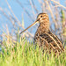 Wilson's Snipe (Becky Matsubara) Tags: avian bird birds bécassinedewilson gallinagodelicata nature outdoors sanluisnationalwildliferefuge sanluisunit shorebirds wisn waterfowlautotour wildlife wilsonssnipe