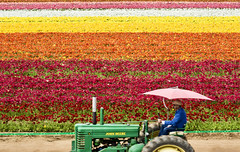Tractor (Jason Rosenberg) Tags: flower flowerfields carlsbadflowerfields carlsbad carlsbadca california colors tractor farmequipment ranunculus umbrella yellow orange red green creative flowerphotos johndeere travel locations travellocations photoexperiences nikon nikond5200 sandiego