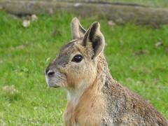 Mara (Simply Sharon !) Tags: mara rodent animal yorkshirewildlifepark