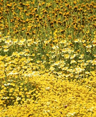 Fifty Shades of Yellow at the Carrizo Plain Superbloom (Ruby 2417) Tags: yellow superbloom spring wildflowers flower flowers carrizo plain soda lake california wilderness scenery nature