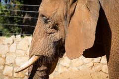 African elephant I (Cataphract) Tags: elephant loxodontaafricana safari zoology