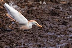 Cattle Egret (Mario Arana G) Tags: 7d ave bird birding cr canon cattleegret costarica estacionhorizontes florayfauna guanacaste marioarana nature naturephotography photography wildlife wildlifecostarica