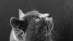 Migy - my true love, my precious... we are the same, wild!! (ana_kapetan_design) Tags: animal cat bw blackandwhite mono pet