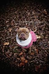 Ike Oso ❤️ #sigmaart30mm #gingersnapsphotography #idahophotographer #petphotography #pitbull #boxerpitmix #canon #mark5dii #dogsweatersaresocute (chalandrea.declue) Tags: sigmaart30mm gingersnapsphotography idahophotographer petphotography pitbull boxerpitmix canon mark5dii dogsweatersaresocute