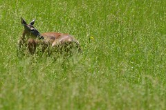 2018 05 21 528 Carr farm, WV (Mark Baker.) Tags: 2018 america baker braxton county mark may north us usa virginia wv west day deer outdoor photo photograph picsmark rural spring states united whitetailed wildlife