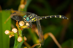 Twin Spot Hunter (strictfunctor) Tags: austrogomphusaustroepigomphuspraeruptus austrogomphuspraeruptus dragonfly insecta odonata twinspothunter insect queensland australia au