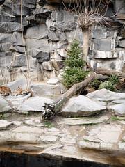 Das Spiel. / 14.01.2019 (ben.kaden) Tags: berlin tierparkberlin tiger raubtierhaus 2019 14012019