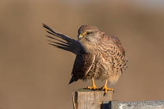 Kestrel (Simon Stobart) Tags: kestrel falco tinnunculus perched preening north east england uk ngc npc naturethroughthelens