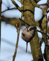 Hang in there buddy! (themadbirdlady) Tags: longtailedtit aegithaloscaudatus aegithalidae passeriformes rspb vanefarmrspb