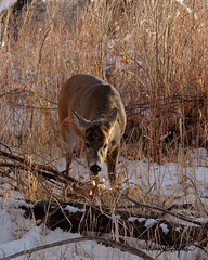 Big Buck Has Shed His Antlers (dcstep) Tags: dsc1072dxo deer buck bigbuck whitetaildeer whitetailbuck antlers cherrycreekstatepark colorado usa aurora allrightsreserved copyright2019davidcstephens dxophotolab202 sonya7riii fe100400mmf4556gmoss handheld