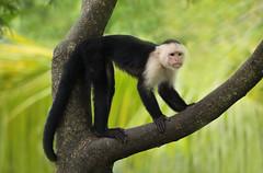 White-faced Capuchin Monkey (ashockenberry) Tags: ashleyhockenberryphotography animal travel tourism reserve ape primate beautiful beauty central america climbing habitat omnivore wildlife wildlifephotography wild wilderness rainforest tropical