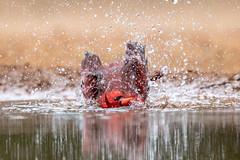 Bath Time (tspine) Tags: northerncardinal santaclararanch texas