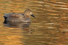 Gadwall (hedgehoggarden1) Tags: gadwall duck bird wildlife nature sonycybershot norfolk lynfordarboretum eastanglia uk wildfowl rspb birds creature animals sony lake