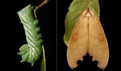 METAMORPHOSIS - Goat-faced Moth (Euhampsonia serratifera, Notodontidae) (John Horstman (itchydogimages, SINOBUG)) Tags: insect macro china yunnan itchydogimages sinobug entomology moth lepidoptera caterpillar larva collage metamorphosis notodontidae euhampsonia serratifera euhampsoniaserratifera fbipm tweet