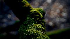 Bokeh im Mönchbruchwald (nordelch61) Tags: deutschland hessen heimat naturschutzgebiet mönchbruch mörfeldenwalldorf rüsselsheim wald bäume totholz moos äste wurzeln zweige forest trees roots wood