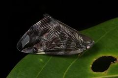The Dark Knight (John Horstman (itchydogimages, SINOBUG)) Tags: insect macro china yunnan itchydogimages sinobug entomology canon bug hopper planthopper hemiptera ricaniidae topf25