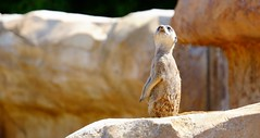 Suricate (claude 22) Tags: suricate zooparcdebeauval saintaignansurcher france beauval park animalier animals sauvages wild nature zoo