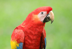 Scarlet Macaw (ashockenberry) Tags: ashleyhockenberryphotography animal avian wildlife wildlifephotography wild wilderness eco reserve rica rainforest costa beautiful bird grassland forest feathers jungle majestic mountains travel tourism tree tropical macaw scarlet red
