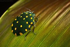 Physic nut stink bug (Pachycoris torridus?) (pbertner) Tags: rainforest rainforestexpeditions peru perunature southamerica amazon tambopata tambopataresearchcentre trc madrededios shieldbug pentatomidae scutelleridae