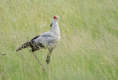 Secretary bird (dunderdan77) Tags: beak bird animal wing wings feather outdoor outdoors safari wildlife nature pilanesberg national park south africa nikon tamron d500