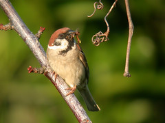 Tree Sparrow (Passer montanus) (piazzi1969) Tags: digiscoping digiscopy nikone995 e995 nikon wildlife singvögel songbirds portugal nature fauna avifauna lamego cambres passermontanus treesparrow sparrows elements